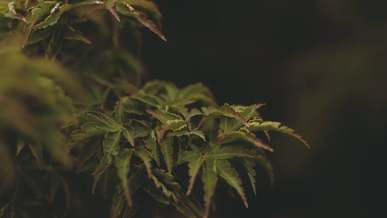 Green And Purple Leaves Of A Plant