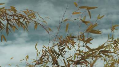 Bamboo Leaves Swaying With The Wind