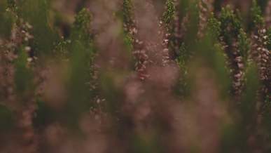 Tiny Pink Flowers Of A Plant