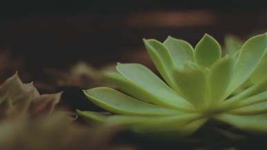 Close-Up Video of Succulent Plants