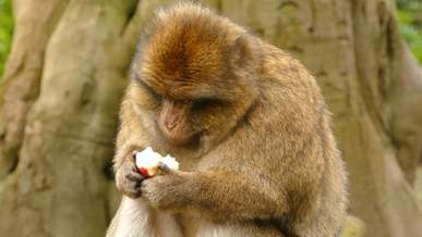 Monkey Eating An Apple