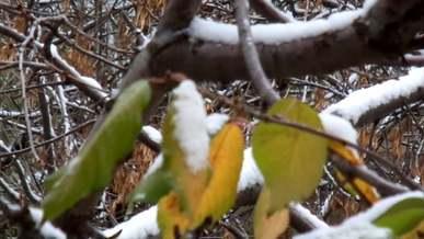 Snow On Leaves Of Trees