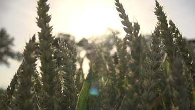 Wheat At Close View On A Windy Day