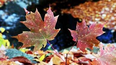 Maple Leaf Autumn