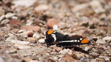 Butterfly Fluttering Its Wings