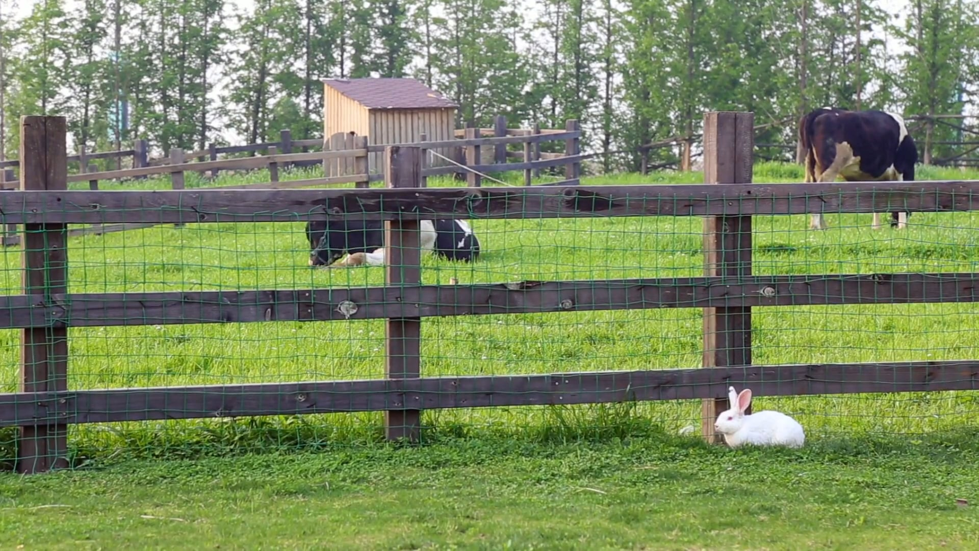 Free Stock Video Of Animals Cows Farm