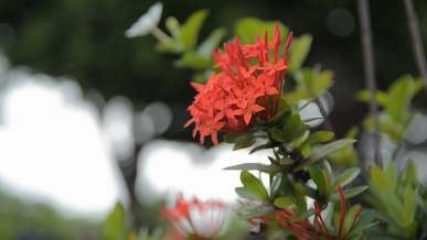 Flame Of The Woods Flower