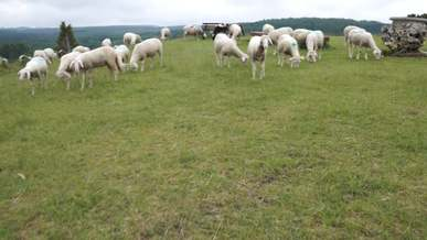 Sheep At A Farm